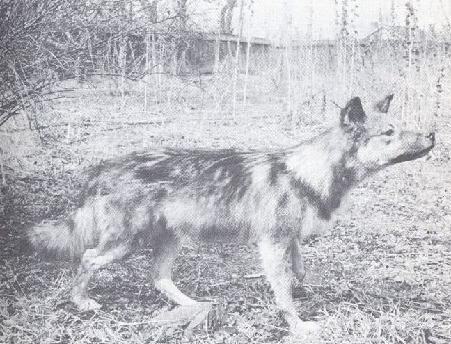784px-The_Wolves_of_North_America_(1944)_Gray_wolf_x_Collie_cross_4